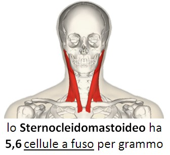 Sternocleidomastoideo Cellule a fuso
